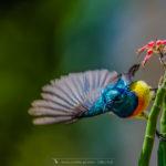 Souimanga de Mayotte - © Gilles Adt