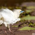 crabier blanc - © Gilles Adt