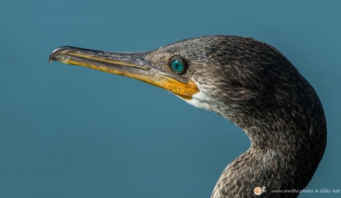 Cormoran à cou brun - © Gilles Adt 2015