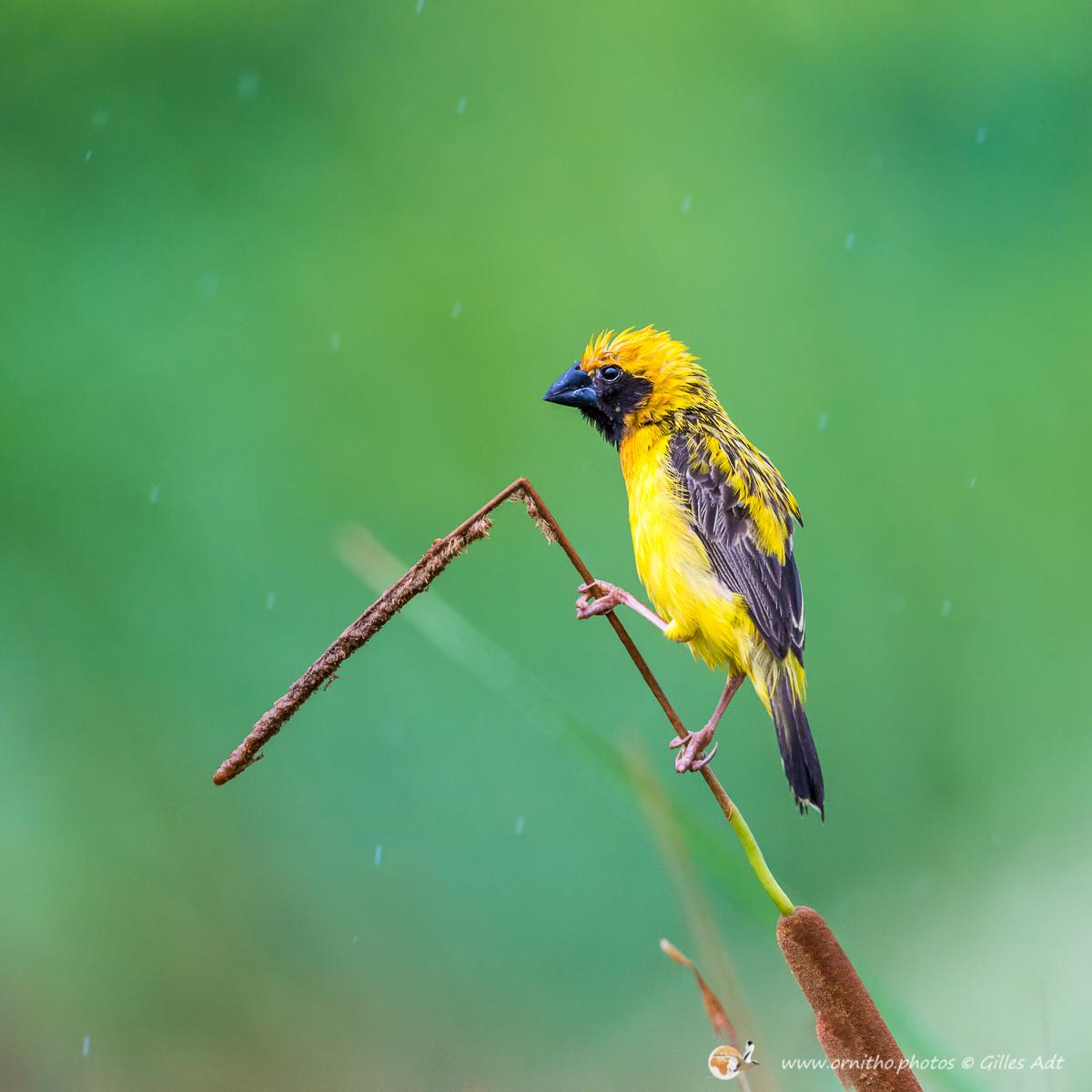Tisserin doré asiatique sous la pluie - © Gilles Adt 2015