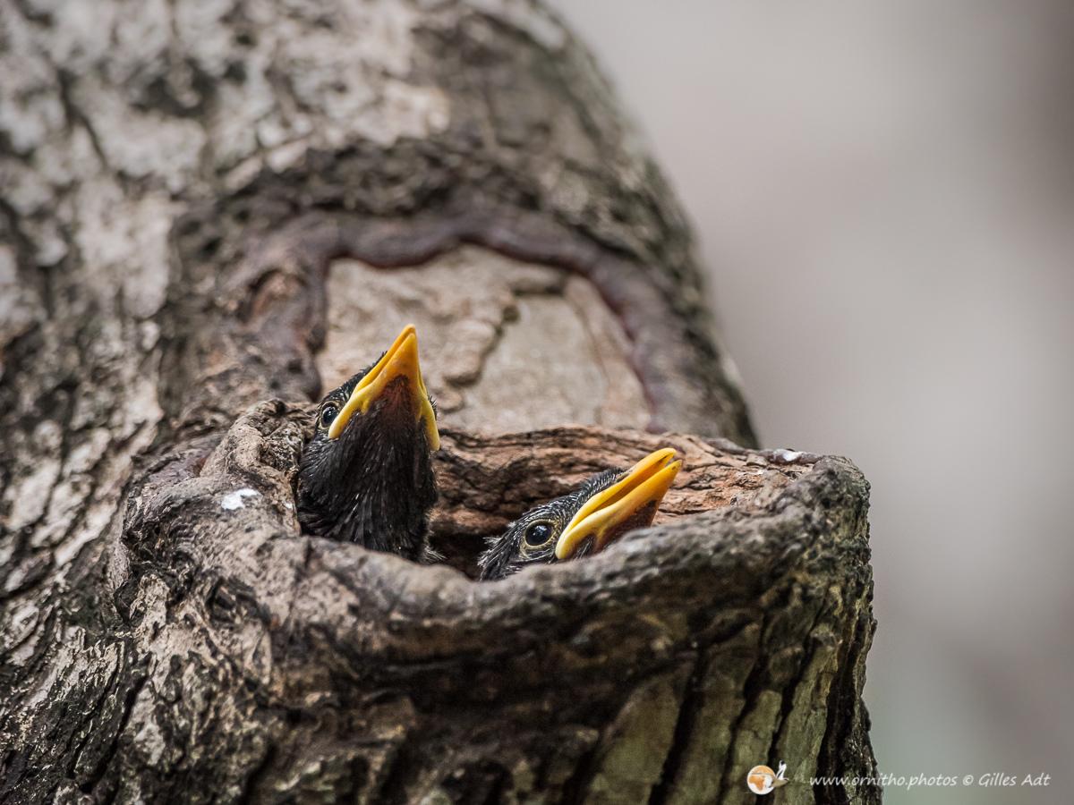 Nourrissage des poussins de Grand Martin- © Gilles adt