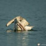 Pélican à bec tacheté - © Gilles Adt