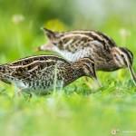 bécassine des marais - © Gilles Adt