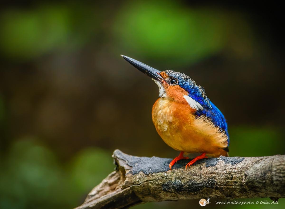 la beauté du Martin-pêcheur vintsi - © Gilles Adt