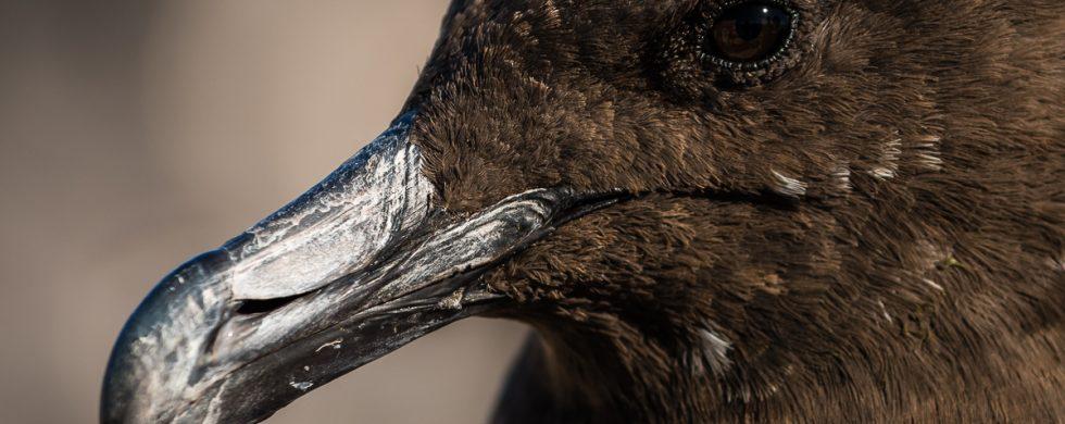 labbe subantarctique - © Gilles Adt