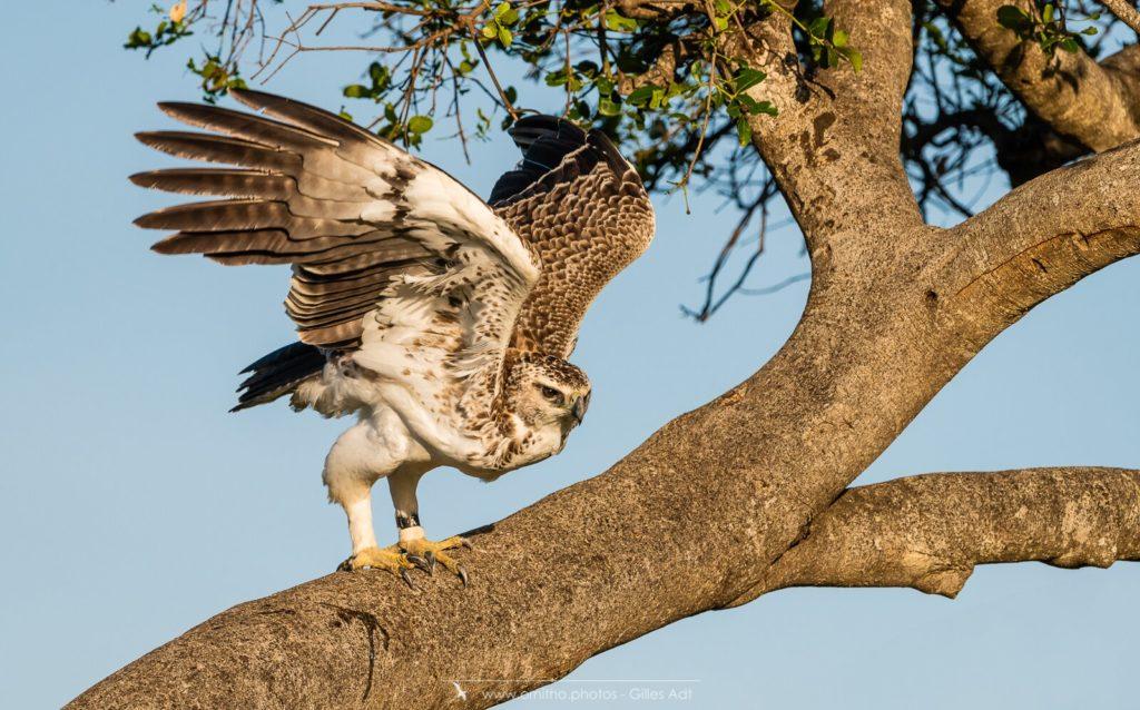 l'Aigle martial