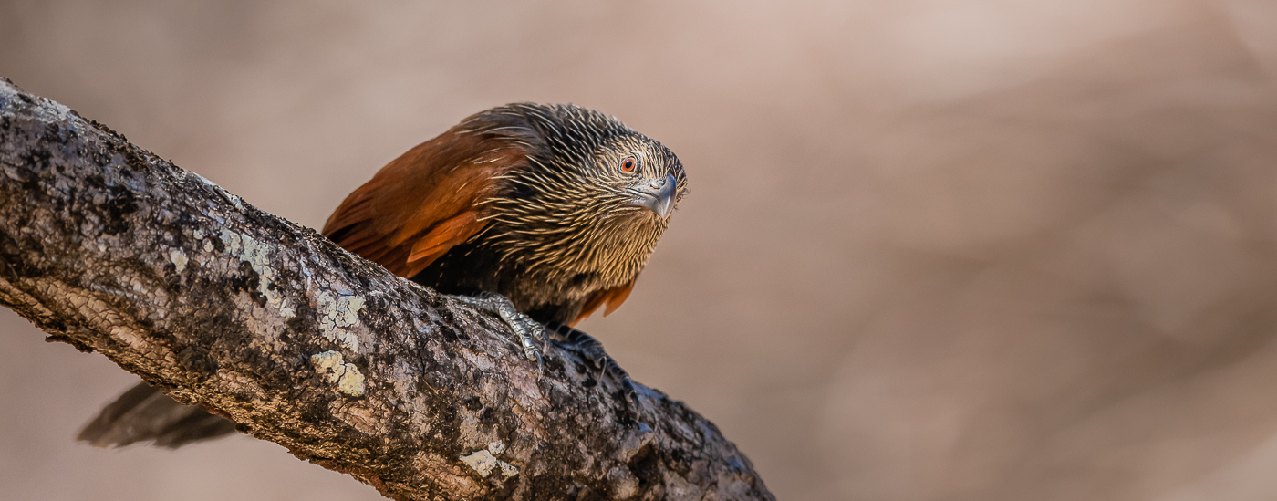 Coucal toulou