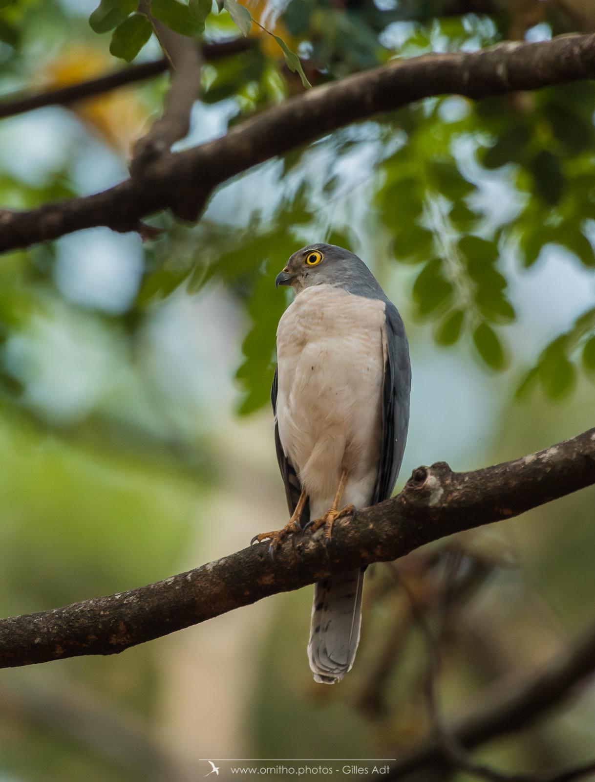 Épervier de Frances male - Madagascar